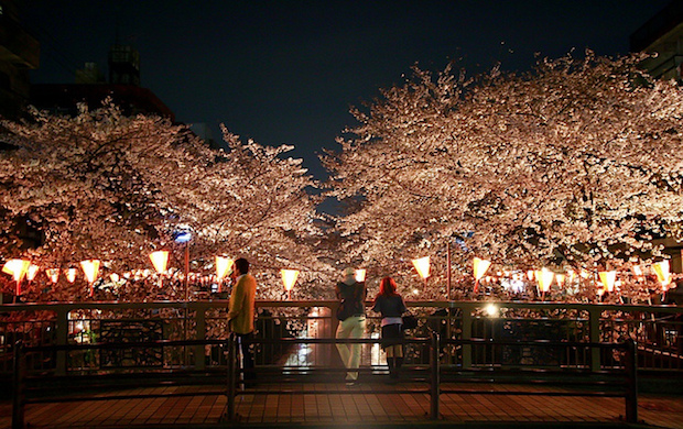 illuminated-cherry-blossoms