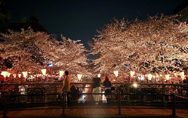 illuminated-cherry-blossoms