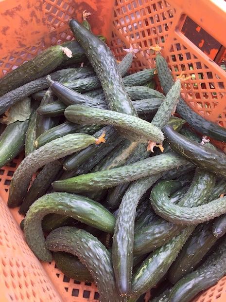 agrigate-cucumbers