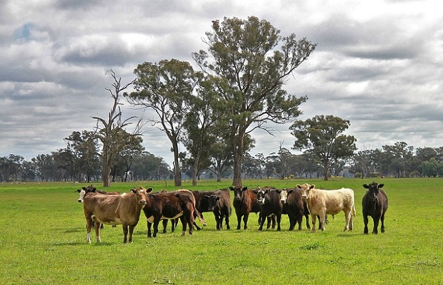 cattle-63729_640